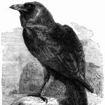 Profile photo of Raven